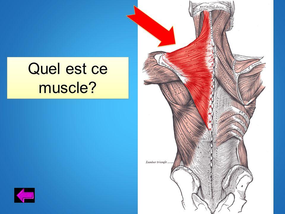 Quel est ce muscle?