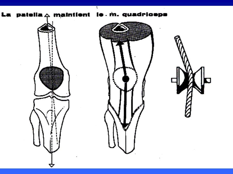 LARTICULATION FEMORO- PATELLAIRE ET LAPPAREIL EXTENSEUR en extension ou entre 0 et 15° de flexion, la force subluxante externe est constante à laquelle soppose 4 mécanismes en extension ou entre 0 et 15° de flexion, la force subluxante externe est constante à laquelle soppose 4 mécanismes la berge externe de la trochlée (risque de dysplasie) la berge externe de la trochlée (risque de dysplasie) laileron rotulien interne laileron rotulien interne la rotation interne automatique la rotation interne automatique le vaste interne +++ le vaste interne +++