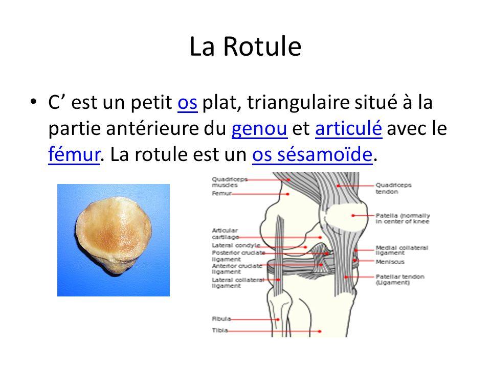 La Rotule C est un petit os plat, triangulaire situé à la partie antérieure du genou et articulé avec le fémur. La rotule est un os sésamoïde.osgenoua
