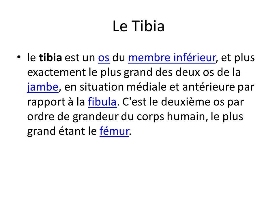 Le Tibia le tibia est un os du membre inférieur, et plus exactement le plus grand des deux os de la jambe, en situation médiale et antérieure par rapp