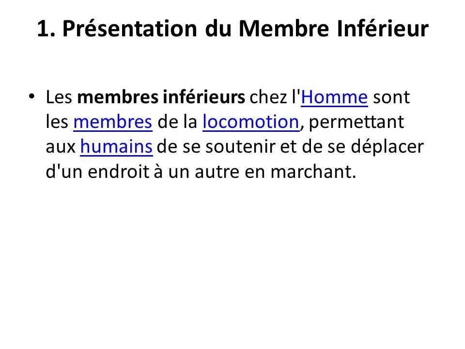 1. Présentation du Membre Inférieur Les membres inférieurs chez l'Homme sont les membres de la locomotion, permettant aux humains de se soutenir et de