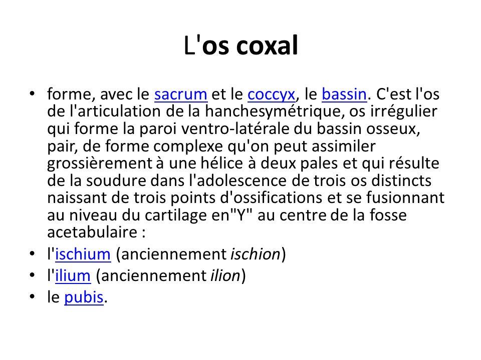 L'os coxal forme, avec le sacrum et le coccyx, le bassin. C'est l'os de l'articulation de la hanchesymétrique, os irrégulier qui forme la paroi ventro