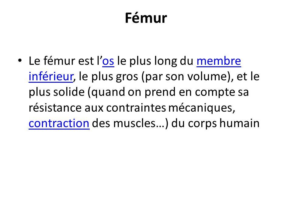 Fémur Le fémur est los le plus long du membre inférieur, le plus gros (par son volume), et le plus solide (quand on prend en compte sa résistance aux