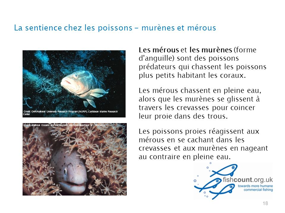 La sentience chez les poissons - murènes et mérous 18 Les mérous et les murènes (forme d anguille) sont des poissons prédateurs qui chassent les poissons plus petits habitant les coraux.