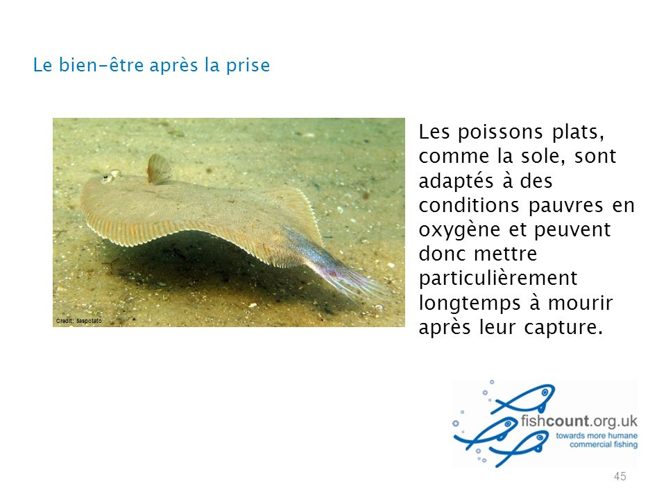 Les poissons plats, comme la sole, sont adaptés à des conditions pauvres en oxygène et peuvent donc mettre particulièrement longtemps à mourir après leur capture.