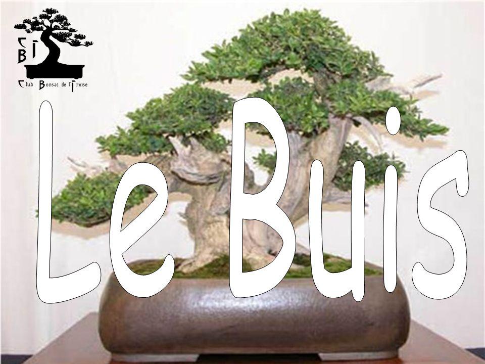 Généralités De la famille des buxacées, il est très utilisé dans les jardins à la française car il répond très bien aux tailles sévères, ce qui en fait un sujet de choix pour le travail en bonsaï.