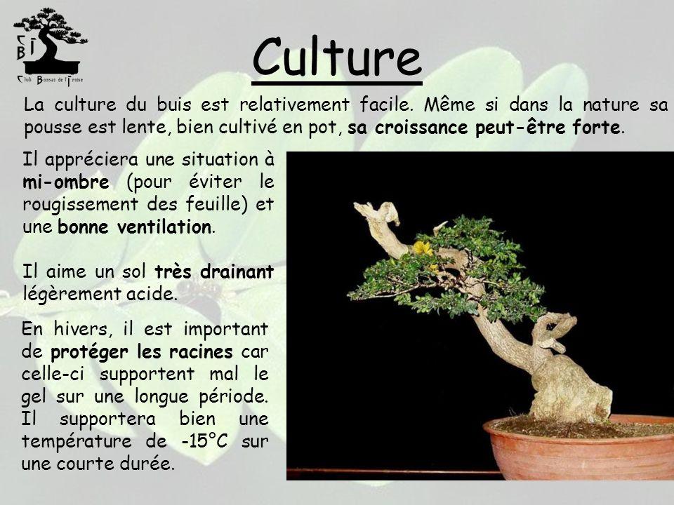 Culture La culture du buis est relativement facile. Même si dans la nature sa pousse est lente, bien cultivé en pot, sa croissance peut-être forte. Il
