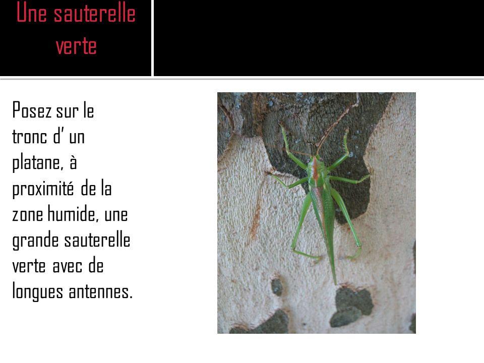 Une sauterelle verte Posez sur le tronc d un platane, à proximité de la zone humide, une grande sauterelle verte avec de longues antennes.