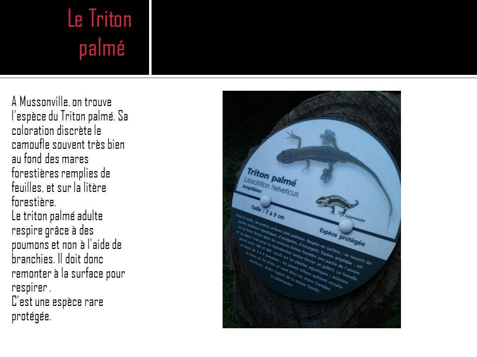 Le Triton palmé A Mussonville, on trouve lespèce du Triton palmé.