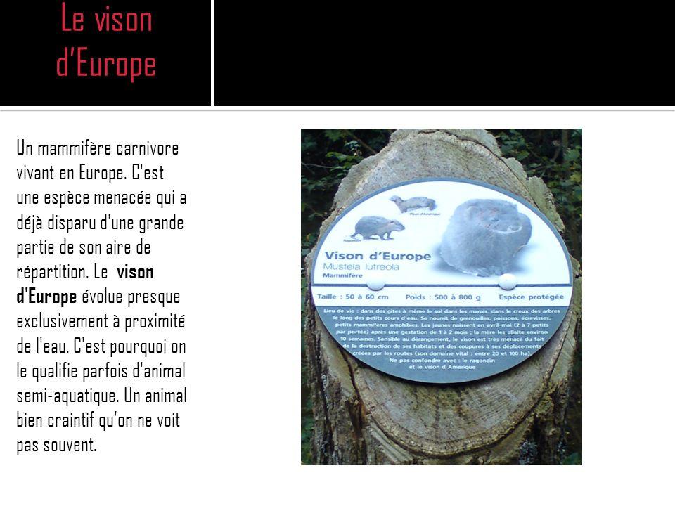 Le vison dEurope Un mammifère carnivore vivant en Europe.