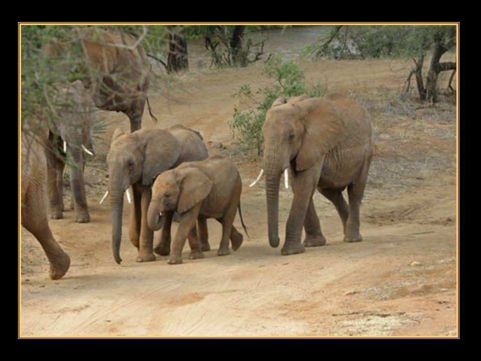 Pourtant, léléphant, Nes tu pas le seigneur Des terres brulées dAfrique, Et des forêts secrètes de lAsie ? Tant darbres ont poussés grâce à toi, Lorsq