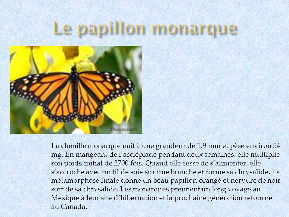 La chenille monarque nait à une grandeur de 1.9 mm et pèse environ 54 mg. En mangeant de lasclépiade pendant deux semaines, elle multiplie son poids i
