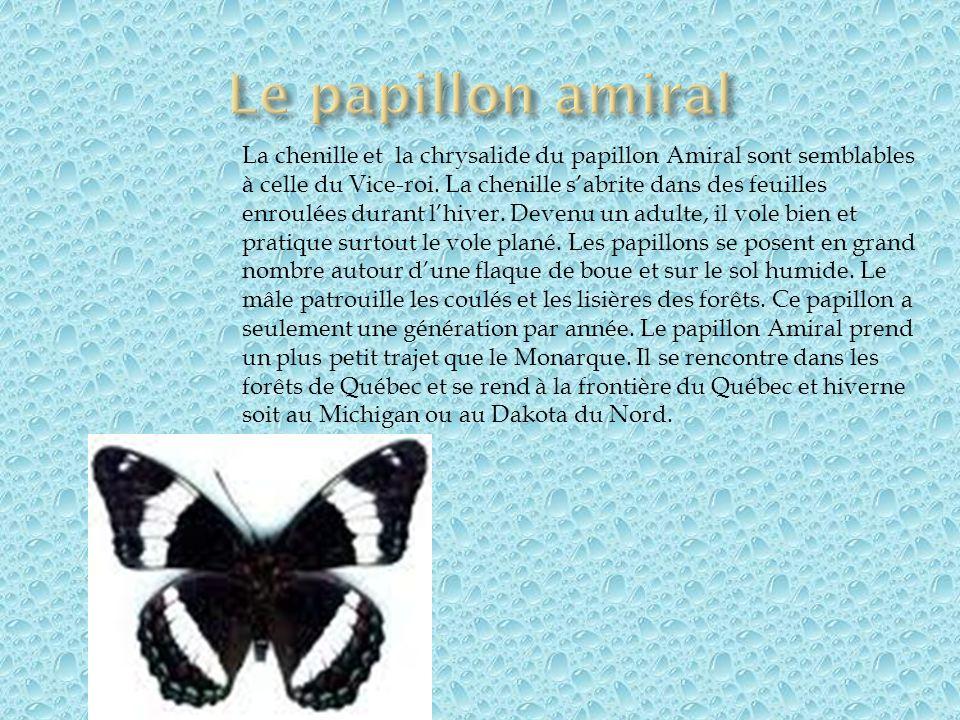 La chenille et la chrysalide du papillon Amiral sont semblables à celle du Vice-roi. La chenille sabrite dans des feuilles enroulées durant lhiver. De