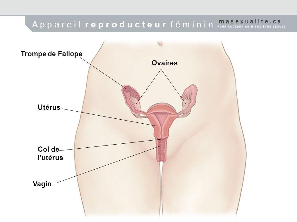 Trompe de Fallope Ovaires Utérus Col de lutérus Vagin m a s e x u a l i t e. c a A p p a r e i l r e p r o d u c t e u r f é m i n i n