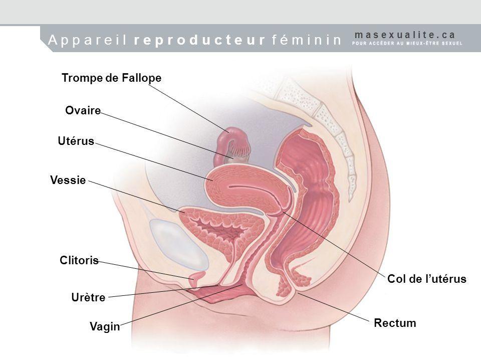 Trompe de Fallope Ovaire Utérus Vessie Clitoris Urètre Vagin Col de lutérus Rectum m a s e x u a l i t e. c a