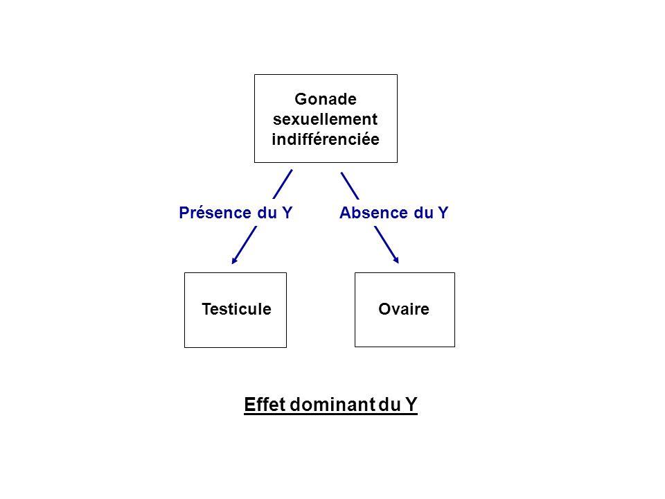 Effet dominant du Y Gonade sexuellement indifférenciée TesticuleOvaire Absence du Y Présence du Y