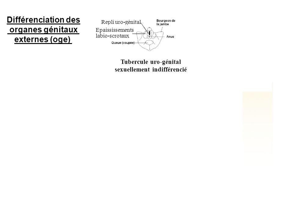 Repli uro-génital Epaississements labio-scrotaux Pénis Scrotum Petites lèvres Grandes lèvres Différenciation des organes génitaux externes (oge) Tuber