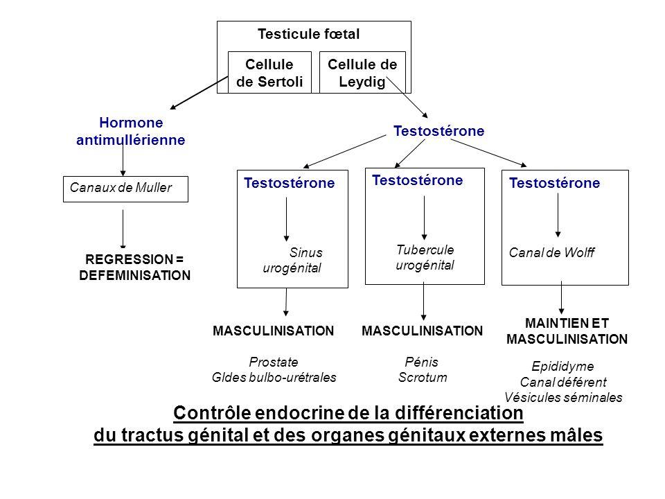 Canaux de Muller Testostérone Sinus urogénital Testicule fœtal Cellule de Sertoli Cellule de Leydig Testostérone Tubercule urogénital Testostérone Can