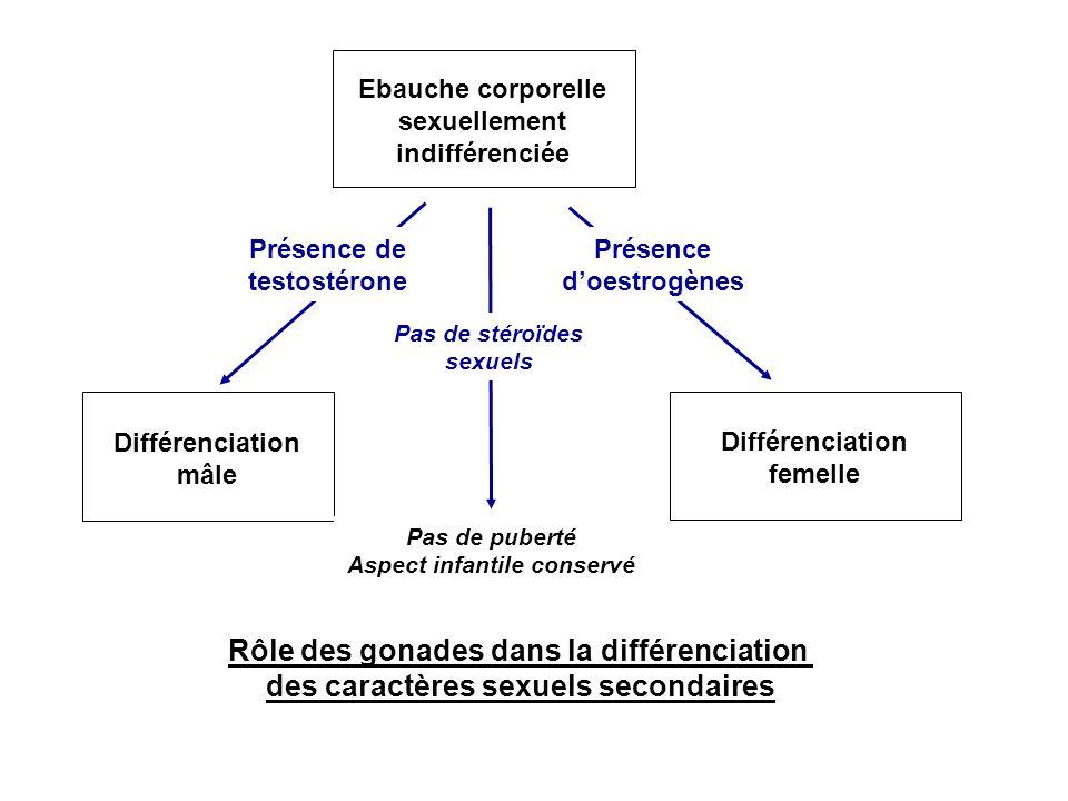Rôle des gonades dans la différenciation des caractères sexuels secondaires Ebauche corporelle sexuellement indifférenciée Différenciation mâle Présen