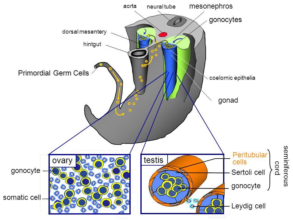 aorta mesonephros coelomic epithelia hintgut dorsal mesentery neural tube Ìndifferent gonadgonocytes Primordial Germ Cells seminiferous cord gonocyte