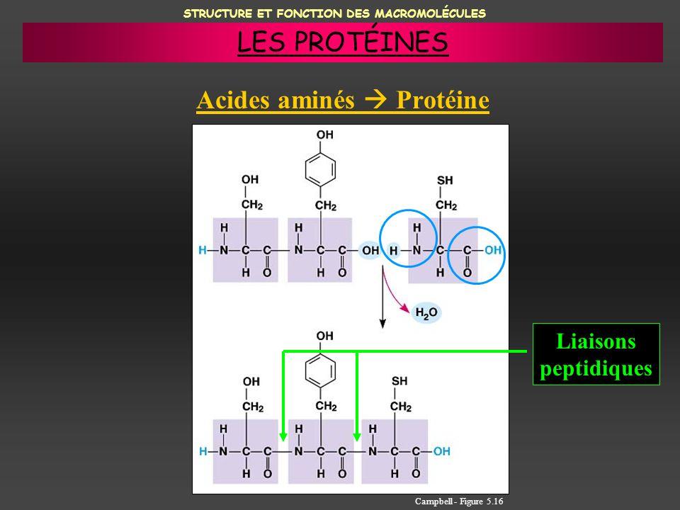 STRUCTURE ET FONCTION DES MACROMOLÉCULES Acides aminés Protéine Liaisons peptidiques Campbell - Figure 5.16 LES PROTÉINES