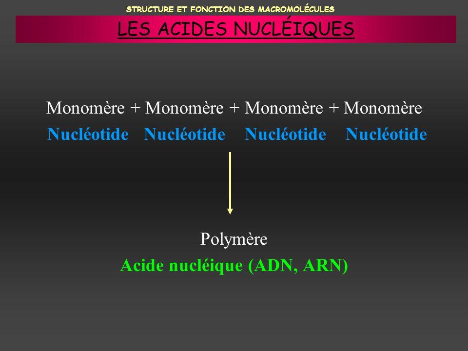 Monomère + Monomère + Monomère + Monomère Nucléotide Nucléotide Nucléotide Nucléotide Polymère Acide nucléique (ADN, ARN) STRUCTURE ET FONCTION DES MA