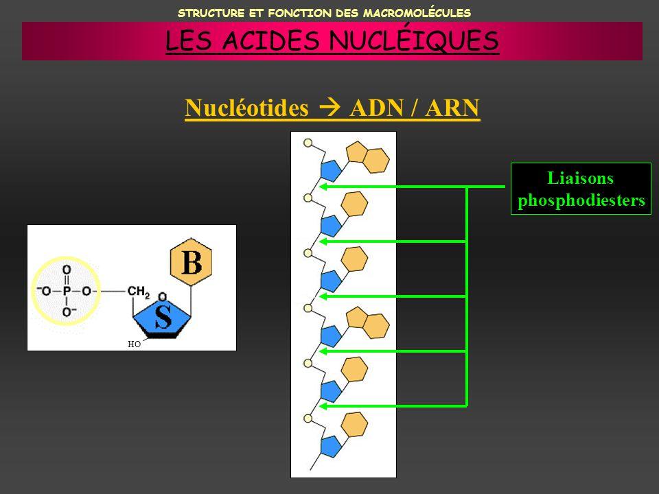 STRUCTURE ET FONCTION DES MACROMOLÉCULES Nucléotides ADN / ARN HO Liaisons phosphodiesters LES ACIDES NUCLÉIQUES