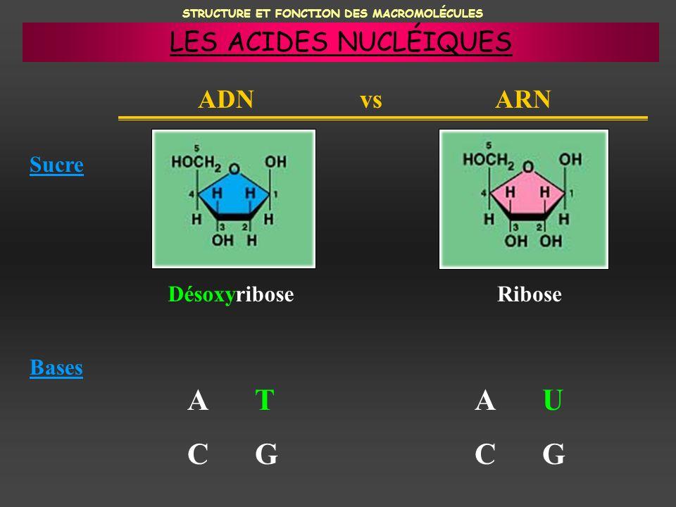 STRUCTURE ET FONCTION DES MACROMOLÉCULES ADN vs ARN Sucre Bases DésoxyriboseRibose ATCGATCG AUCGAUCG LES ACIDES NUCLÉIQUES