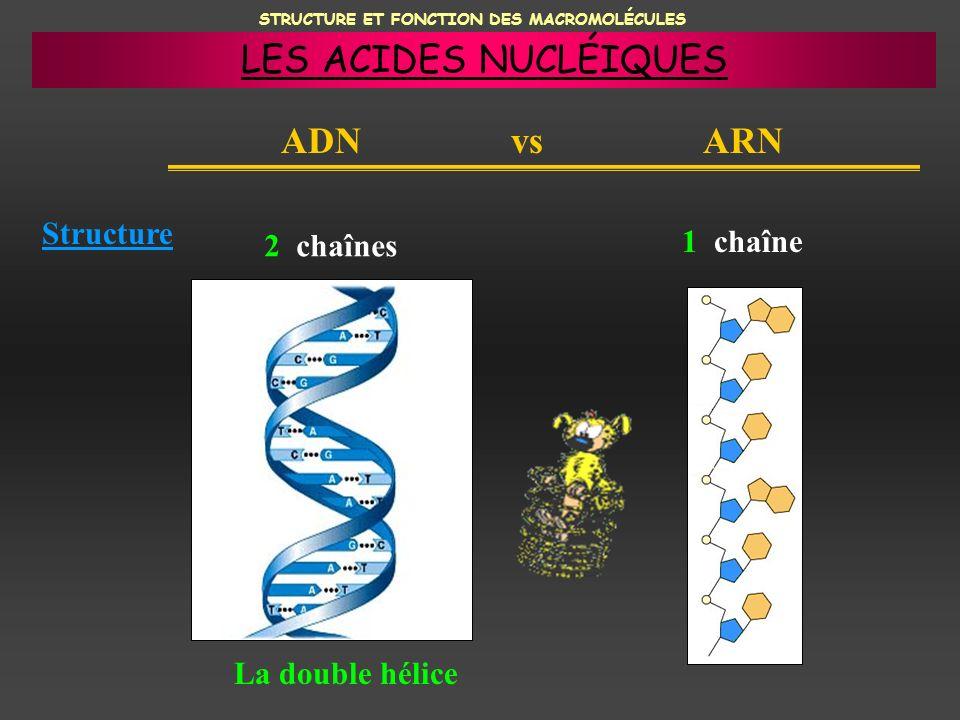 STRUCTURE ET FONCTION DES MACROMOLÉCULES ADN vs ARN Structure 2 chaînes 1 chaîne La double hélice LES ACIDES NUCLÉIQUES