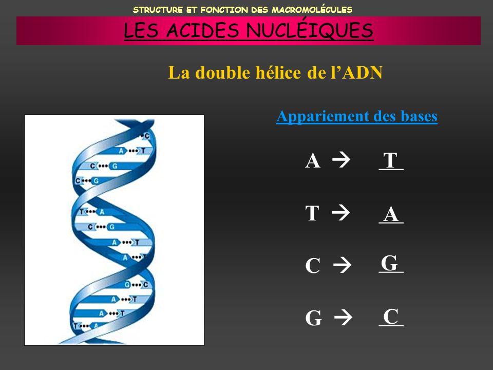 STRUCTURE ET FONCTION DES MACROMOLÉCULES La double hélice de lADN Appariement des bases A T C G ___ T A G C LES ACIDES NUCLÉIQUES