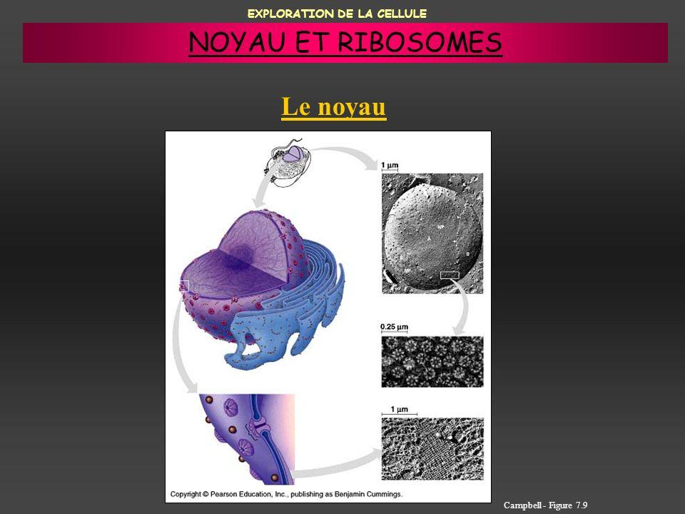 EXPLORATION DE LA CELLULE Le noyau Campbell - Figure 7.9 NOYAU ET RIBOSOMES