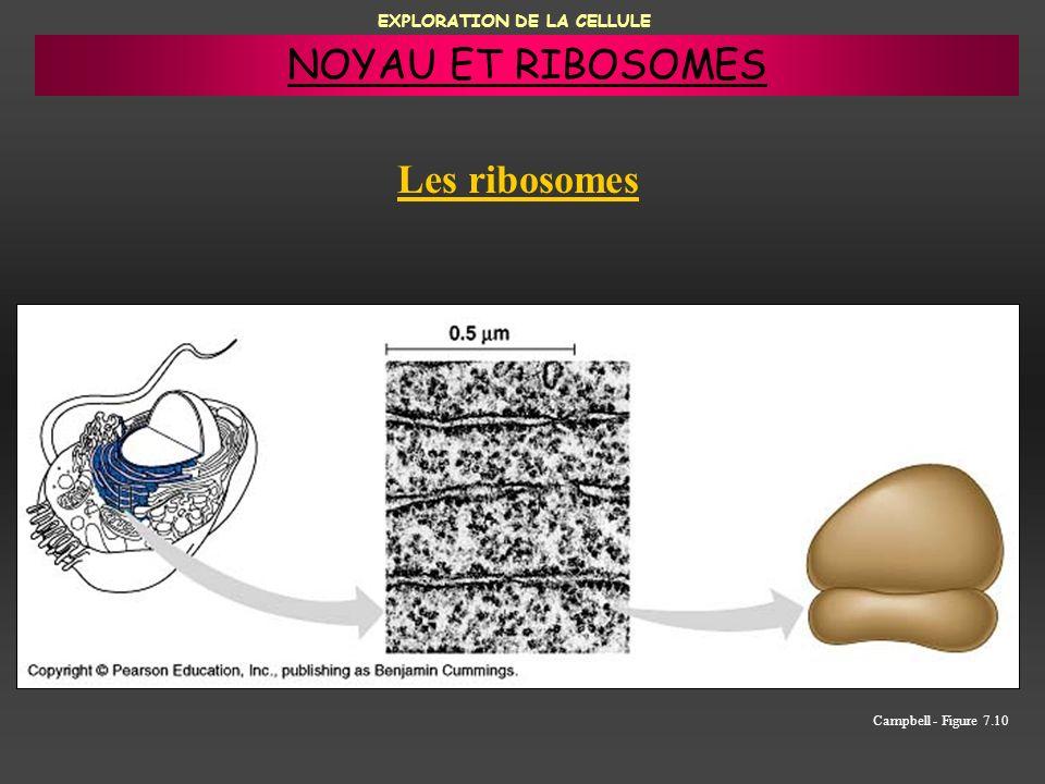EXPLORATION DE LA CELLULE Les ribosomes Campbell - Figure 7.10 NOYAU ET RIBOSOMES