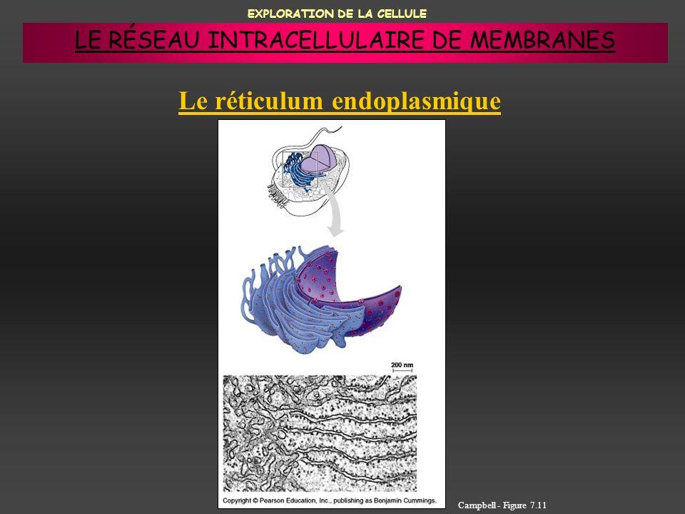 EXPLORATION DE LA CELLULE Le réticulum endoplasmique Campbell - Figure 7.11 LE RÉSEAU INTRACELLULAIRE DE MEMBRANES