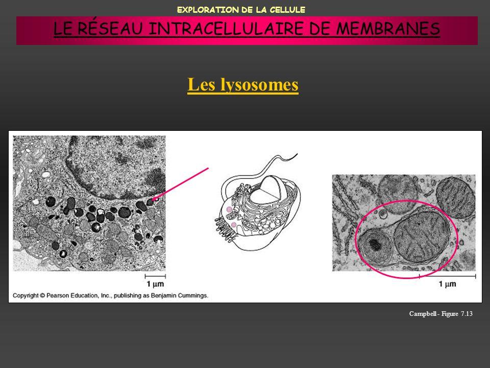 EXPLORATION DE LA CELLULE Les lysosomes Campbell - Figure 7.13 LE RÉSEAU INTRACELLULAIRE DE MEMBRANES