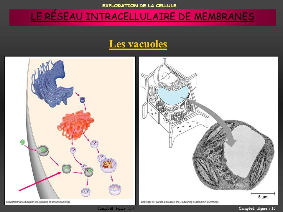 EXPLORATION DE LA CELLULE Les vacuoles Campbell - Figure 7.15Campbell - Figure 7.14 LE RÉSEAU INTRACELLULAIRE DE MEMBRANES