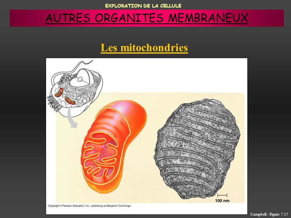 EXPLORATION DE LA CELLULE Les mitochondries Campbell - Figure 7.17 AUTRES ORGANITES MEMBRANEUX