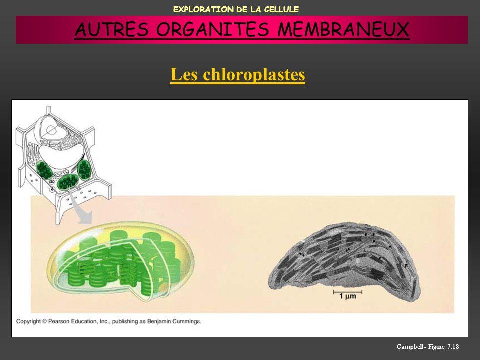 EXPLORATION DE LA CELLULE Les chloroplastes Campbell - Figure 7.18 AUTRES ORGANITES MEMBRANEUX