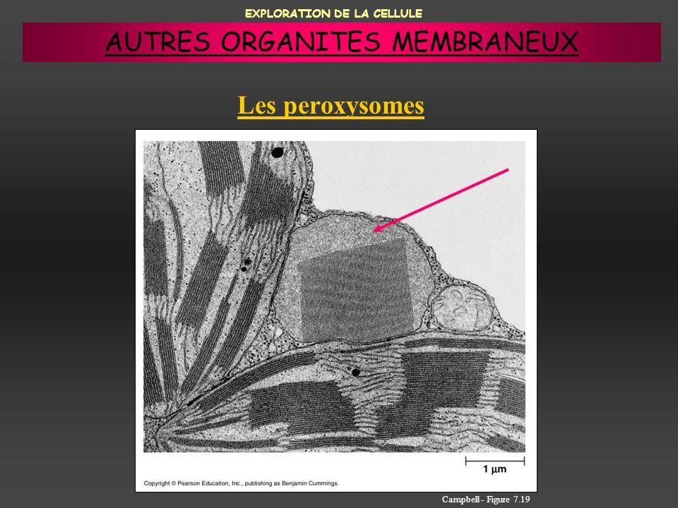 EXPLORATION DE LA CELLULE Les peroxysomes Campbell - Figure 7.19 AUTRES ORGANITES MEMBRANEUX