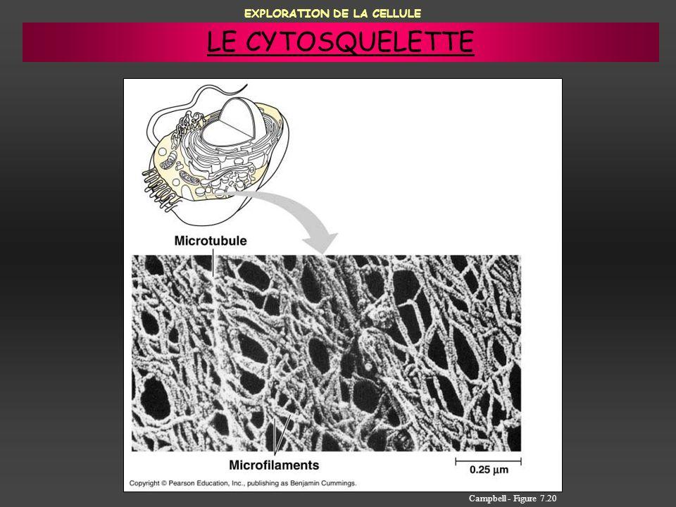EXPLORATION DE LA CELLULE Campbell - Figure 7.20 LE CYTOSQUELETTE