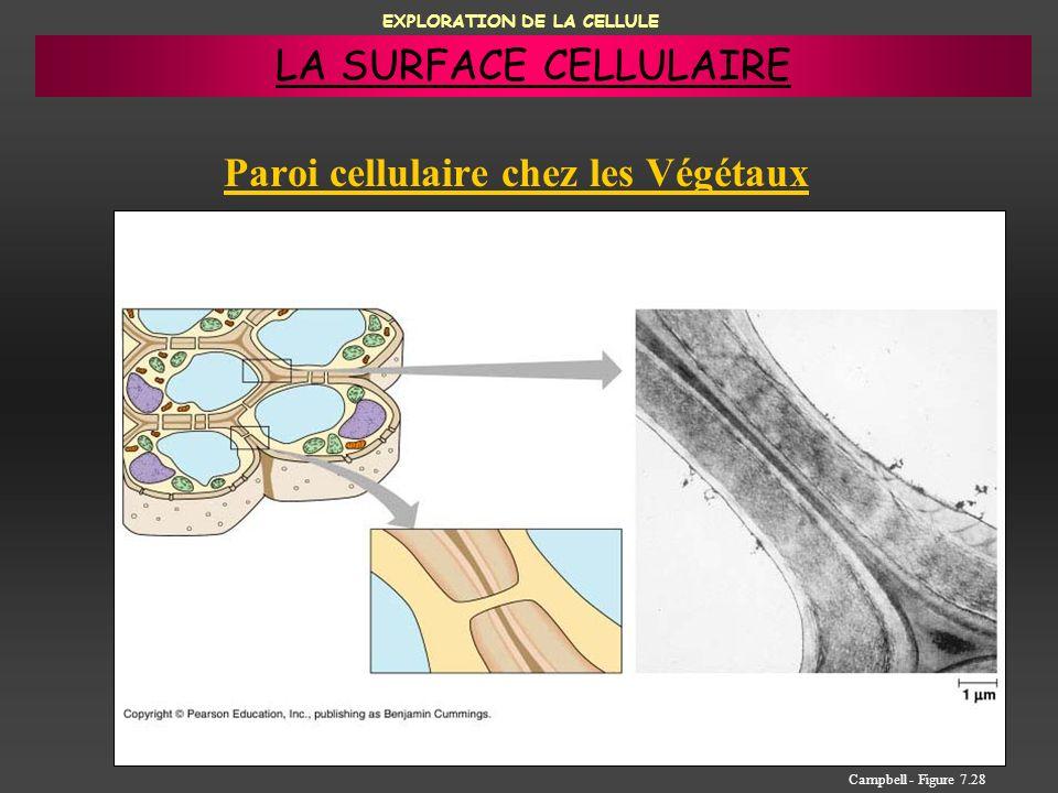 EXPLORATION DE LA CELLULE Paroi cellulaire chez les Végétaux Campbell - Figure 7.28 LA SURFACE CELLULAIRE