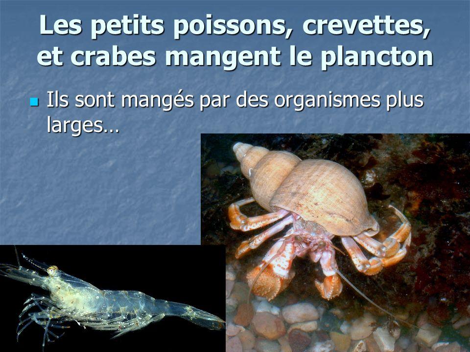 Les petits poissons, crevettes, et crabes mangent le plancton Ils sont mangés par des organismes plus larges… Ils sont mangés par des organismes plus larges…