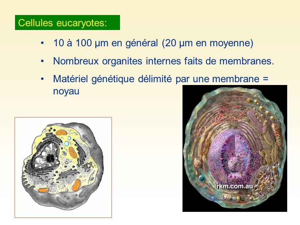 Cellules eucaryotes: 10 à 100 µm en général (20 µm en moyenne) Nombreux organites internes faits de membranes. Matériel génétique délimité par une mem