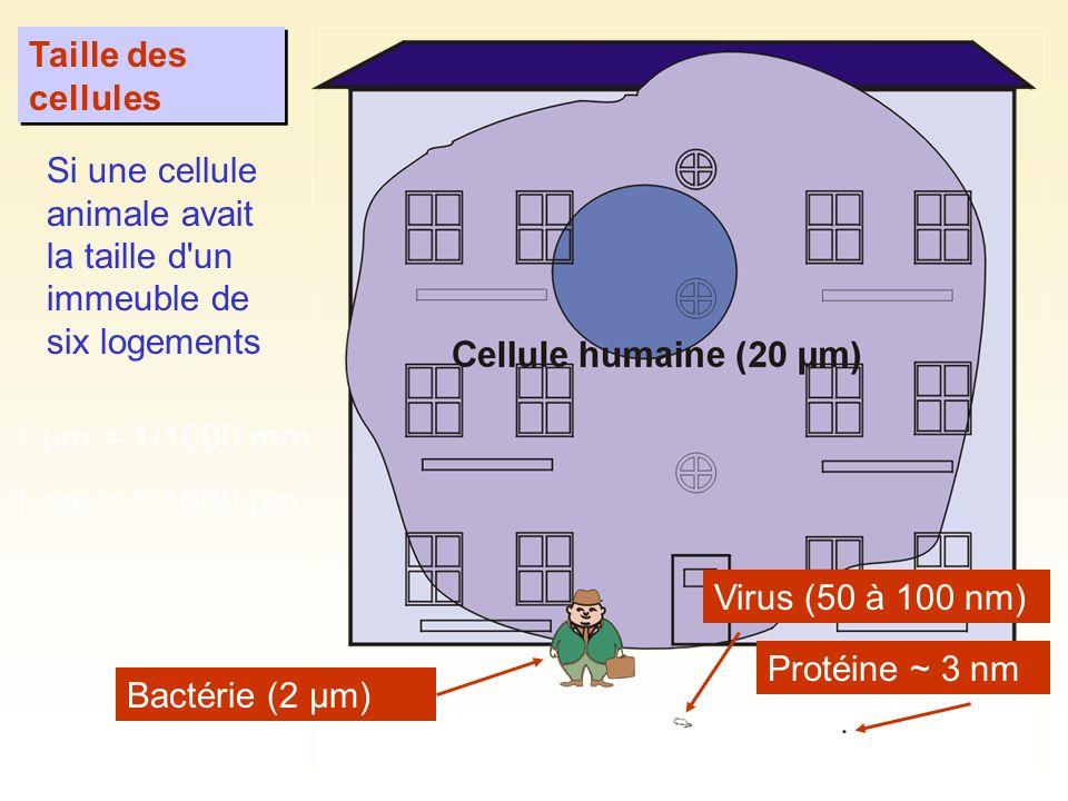 Taille des cellules Bactérie (2 µm) Virus (50 à 100 nm) Protéine ~ 3 nm Si une cellule animale avait la taille d'un immeuble de six logements 1 µm = 1
