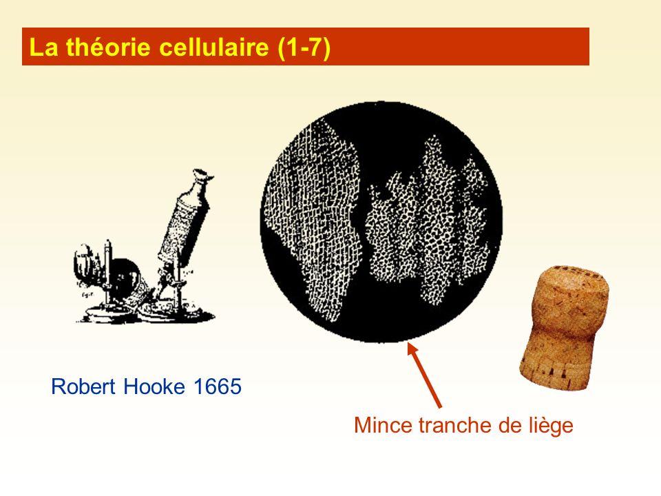 La théorie cellulaire (1-7) Robert Hooke 1665 Mince tranche de liège