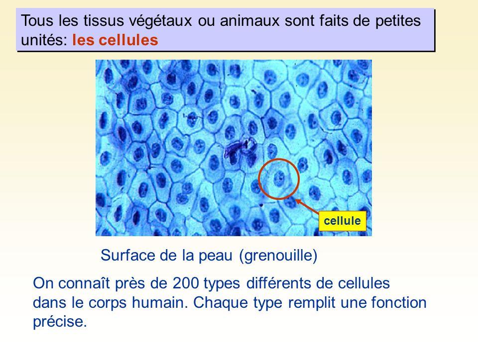 Taille des cellules Bactérie (2 µm) Virus (50 à 100 nm) Protéine ~ 3 nm Si une cellule animale avait la taille d un immeuble de six logements 1 µm = 1/1000 mm 1 nm = 1/1000 µm