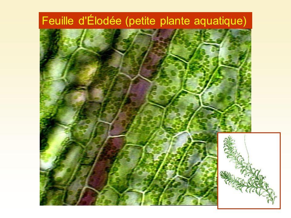 Feuille d'Élodée (petite plante aquatique)