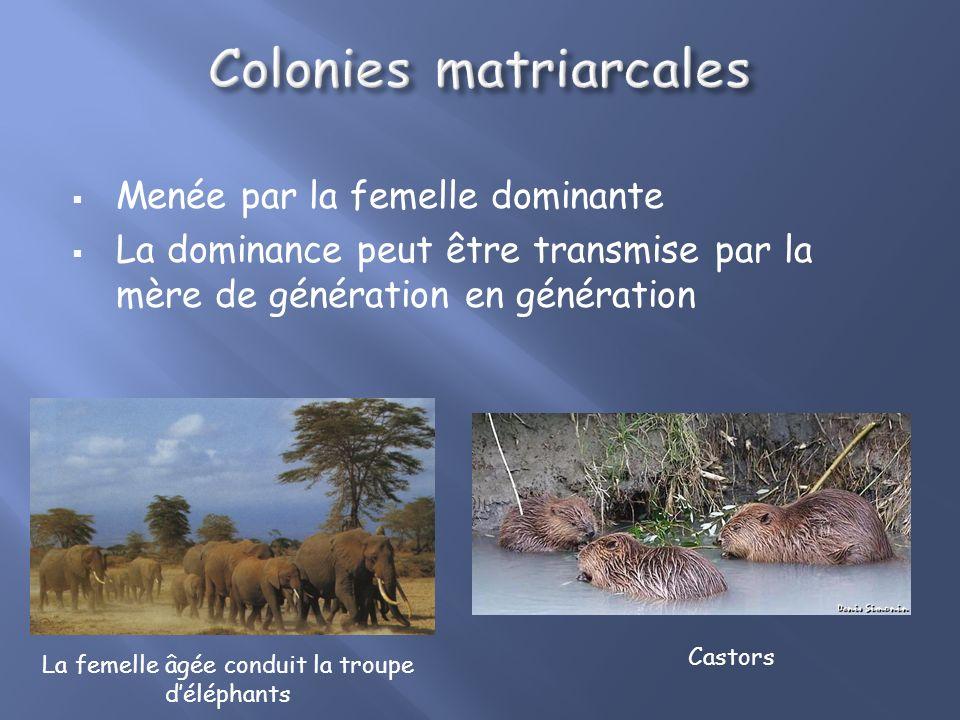 Colonies organisées: Avec hiérarchie : -Colonies matriarcales. -Colonies à hiérarchie souple. -Colonies à hiérarchie stricte.
