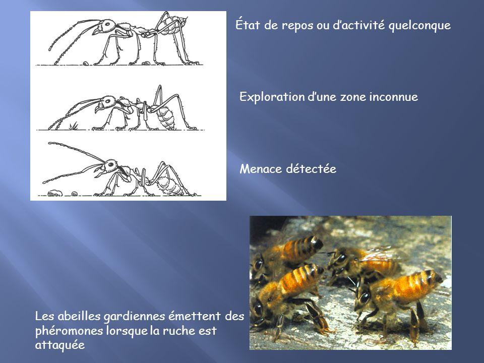 B. La communication: Messagers chimiques = phéromones Diffusion lente et durable Odeur de lindividu + odeur de la colonie Utilisation variée Communica