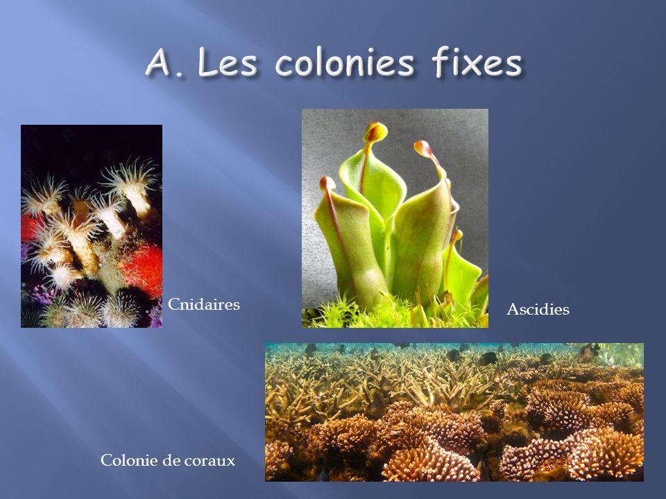 Colonie: groupe dindividus dune même espèce vivant ensemble. Organisation plus ou moins complexe. Colonies fixes / colonies mobiles. Colonies mobiles