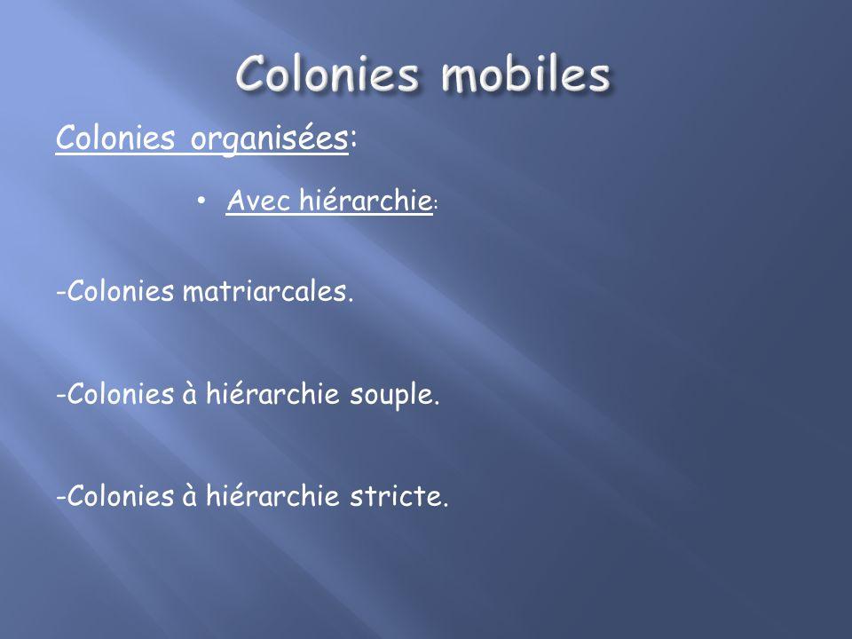 Colonies organisées: Sans hiérarchie: - Groupes familiaux mixtes - Pas de réel meneur - Femelles et jeunes: noyau de la cellule familiale - Protection
